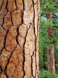 USA, California, Yosemite National Park. Ponderosa Pine Photographic Print by  Jaynes Gallery