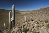 Chile, Altiplano, Cariquima, Giant Cactuses (Echinopsis Atacamensis) Photographic Print by Andres Morya Hinojosa