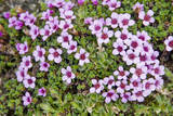 Norway, Spitsbergen. Purple Saxifrage in Bloom on the Tundra Photographic Print by Steve Kazlowski