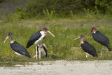 Marabou Storks by Chobe River, Chobe, Kasane, Botswana Photographic Print by David Wall