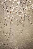 New Jersey, Hunterdon, Applewood Farm, Birch Branch over Pond (Pr) Photographic Print by Alison Jones