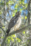 USA, Florida, New Smyrna Beach, Red-Shouldered Hawk Photographic Print by Jim Engelbrecht