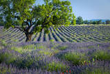 Loan Tree in Field of Lavender, Valensole Plateau, Provence, France Photographic Print by Brian Jannsen