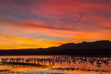 USA, New Mexico, Bosque Del Apache Nwr. Sandhill Cranes in Water Photographic Print by  Jaynes Gallery