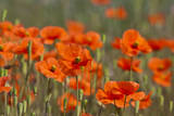 USA, Washington, Fire Poppies in Mass in the Palouse Region Photographic Print by Terry Eggers