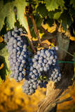Sangiovese Grapes in a Vineyard Near Montepulciano, Tuscany, Italy Photographic Print by Brian Jannsen