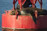 USA, Washington, Seattle. California Sea Lion Basking Photographic Print by Trish Drury