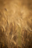 Barley Field in Provence, France Photographic Print by Brian Jannsen