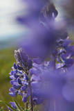 USA, Washington State, Columbia George, Lupine in Spring Bloom Photographic Print by Terry Eggers