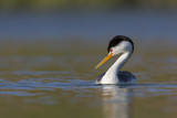 Clark's Grebe in Breeding Plumage, Potholes Reservoir, Washington, USA Photographic Print by Gary Luhm