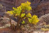USA, Utah, Canyonlands, Horseshoe Canyon, Cottonwood Tree Photographic Print by Jamie & Judy Wild
