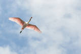 USA, Florida, Orlando, Roseate Spoonbill Photographic Print by Jim Engelbrecht