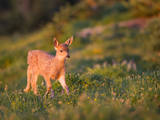 Black-Tailed Deer Fawn at Hurricane Ridge, Olympic, Washington, USA Photographic Print by Gary Luhm