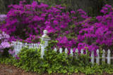 USA, Georgia, Savannah, Azaleas at Historic Isle of Hope Photographic Print by Joanne Wells