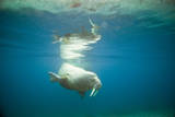 Norway, Spitsbergen, Nordaustlandet. Walrus Bull Swims Underwater Photographic Print by Steve Kazlowski