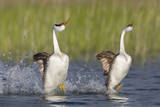 Western Grebe in Mating Display at Potholes Reservoir, Washington, USA Photographic Print by Gary Luhm