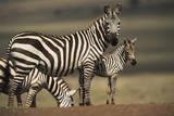 Kenya, Maasai Mara, Baby Burchell's Zebra with Mother Photographic Print by Adam Jones