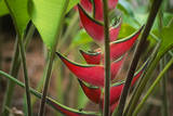 USA, Hawaii, Kauai. Heliconia in the Allerton Garden Photographic Print by Roddy Scheer