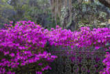 USA, Georgia, Savannah, Azaleas Blooming in Bonaventure Cemetery Photographic Print by Joanne Wells