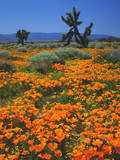 California Poppies and a Joshua Tree, Antelope Valley, California, USA Photographic Print by  Jaynes Gallery