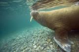 Norway, Spitsbergen, Nordaustlandet. Walrus Underwater Profile Photographic Print by Steve Kazlowski