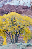 USA, Utah, Capitol Reef National Park, Cottonwood Tree Photographic Print by Jamie & Judy Wild