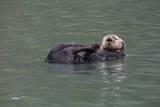 Otter, Kodiak Island, Alaska Photographic Print by Gavriel Jecan
