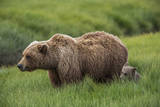 USA, Alaska, Brown Bear and Cub Photographic Print by Gavriel Jecan