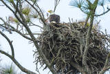USA, Florida, Daytona, Bald Eagle on Nest Photographic Print by Jim Engelbrecht