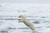 Norway, Spitsbergen. Polar Bear Jumps from Ice Floe to Ice Floe Photographic Print by Steve Kazlowski