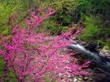 USA, Tennessee, Great Smoky Mountain Redbud Wildflowers Photographic Print by  Jaynes Gallery