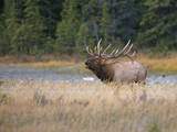 Canada, Alberta. Rocky Mountain Elk Bugles During Fall Rut. Jasper Photographic Print by Gary Luhm