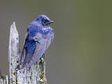 USA, Washington. Close-Up of a Male Purple Martin on a Perch Photographic Print by Gary Luhm