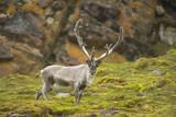 Norway, Western Spitsbergen. Svalbard Reindeer Adult Buck Foraging Photographic Print by Steve Kazlowski