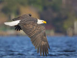 USA, Washington, Seattle. Bald Eagle Flies over Lake Washington Photographic Print by Gary Luhm