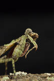Grizzled Mantis Grooming Self, Gonatista Grisea, Central Florida Photographic Print by Maresa Pryor