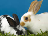 Young Rex Rabbits Photographic Print by Maresa Pryor