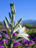 USA, California, Anza-Borrego Desert Sp. Desert Lily and Sand Verbena Photographic Print by  Jaynes Gallery