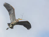 USA, Washington. Great Blue Heron Flying with Nesting Material Photographic Print by Gary Luhm