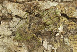 Grizzled Mantis in Camouflage, Gonatista Grisea, Central Florida Photographic Print by Maresa Pryor