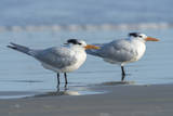 USA, Florida, New Smyrna Beach, Royal Tern Photographic Print by Jim Engelbrecht