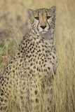 Cheetah in Tall Grass Photographic Print by Darrell Gulin