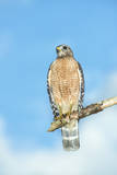 USA, Florida, Spruce Creek, Red-Shouldered Hawk Photographic Print by Jim Engelbrecht