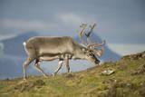 Norway, Spitsbergen, St. Jonsfjorden. Svalbard Reindeer Buck Forages Photographic Print by Steve Kazlowski