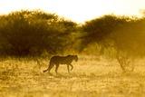 Cheetah at Dawn, Nxai Pan National Park, Botswana Photographic Print by Paul Souders