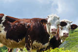 Cow of Aosta Valley, Vetan, Aosta Valley, Italian Alps, Italy Photographic Print by Nico Tondini