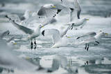 Norway, Spitsbergen. Flock of Black-Legged Kittiwakes Take Flight Stampa fotografica di Steve Kazlowski