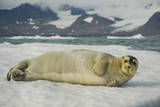Norway, Spitsbergen, Greenland Sea. Bearded Seal Pup Rests on Sea Ice Stampa fotografica di Steve Kazlowski