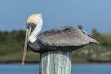 USA, Florida, New Smyrna Beach, Pelican Roosting on Pylon Photographic Print by Jim Engelbrecht
