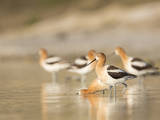 USA, Washington. American Avocets in Mating Behavior at Soap Lake Photographic Print by Gary Luhm